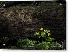 Sun Beam On Log Acrylic Print