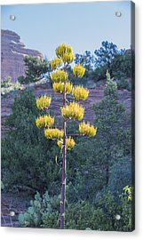 Sun Brightened Century Plant Acrylic Print