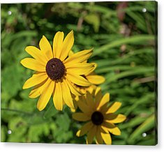 Sun Drenched Daisy Acrylic Print