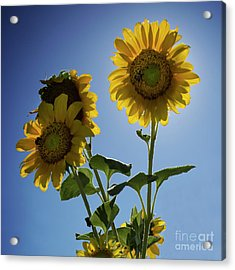 Sun Flowers Acrylic Print by Brian Jones