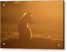 Sun Gazing Fox Acrylic Print by Roeselien Raimond
