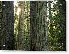 Sun In The Cedars Acrylic Print by Idaho Scenic Images Linda Lantzy