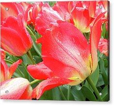 Sun Lights Tulips After Spring Rain Acrylic Print