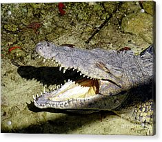 Acrylic Print featuring the photograph Sunbathing Croc by Francesca Mackenney