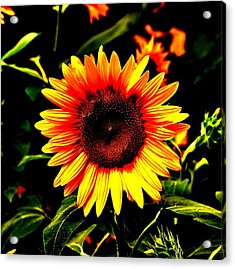 Sunburst Of The Sunflower Acrylic Print by Marc Mesa