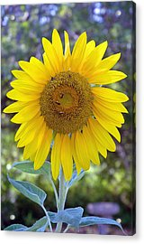 Sunflower 1 Acrylic Print by Mickie Boothroyd