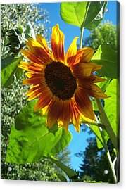 Sunflower 101 Acrylic Print by Ken Day