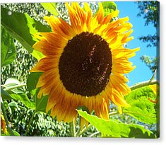 Sunflower 103 Acrylic Print by Ken Day