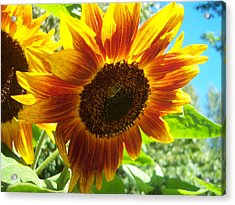 Sunflower 104 Acrylic Print by Ken Day