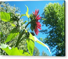 Sunflower 105 Acrylic Print by Ken Day