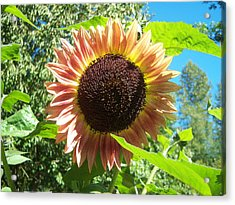 Sunflower 107 Acrylic Print by Ken Day