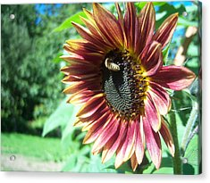Sunflower 109 Acrylic Print by Ken Day