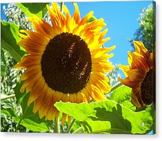 Sunflower 117 Acrylic Print by Ken Day