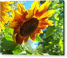 Sunflower  119 Acrylic Print by Ken Day