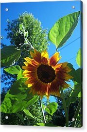 Sunflower 120 Acrylic Print by Ken Day