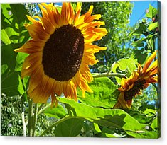 Sunflower 122 Acrylic Print by Ken Day