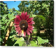 Sunflower 126 Acrylic Print by Ken Day
