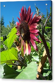 Sunflower 127 Acrylic Print by Ken Day