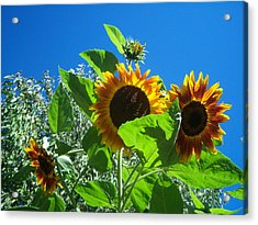 Sunflower 131 Acrylic Print by Ken Day