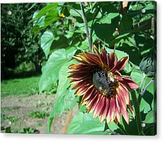 Sunflower 134 Acrylic Print by Ken Day