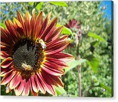 Sunflower 135 Acrylic Print by Ken Day