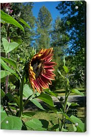 Sunflower 136 Acrylic Print by Ken Day
