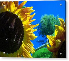 Sunflower 138 Acrylic Print by Ken Day