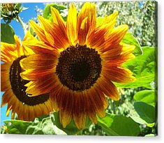 Sunflower 140 Acrylic Print by Ken Day