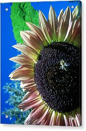 Sunflower 142 Acrylic Print by Ken Day
