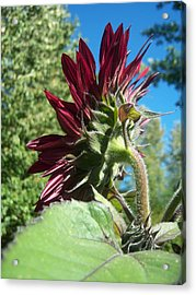 Sunflower 144 Acrylic Print by Ken Day
