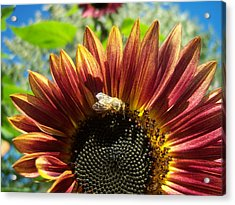 Sunflower 146 Acrylic Print by Ken Day