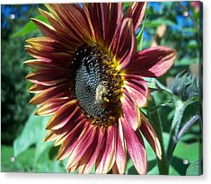 Sunflower 147 Acrylic Print by Ken Day