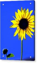 Sunflower 2 Acrylic Print by Marty Koch