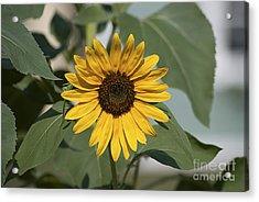 Sunflower 20120718_06a Acrylic Print