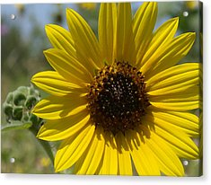 Sunflower 9  Acrylic Print by James Granberry