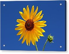Sunflower Against Blue Sky Acrylic Print
