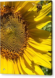 Sunflower And Bee Acrylic Print by Darice Machel McGuire