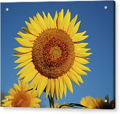 Sunflower And Blue Sky Acrylic Print