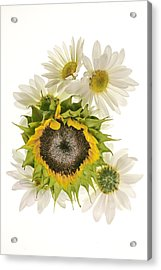 Sunflower And Daisies Acrylic Print by Roman Kurywczak