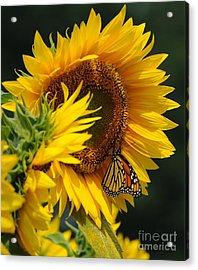 Sunflower And Monarch 3 Acrylic Print by Edward Sobuta