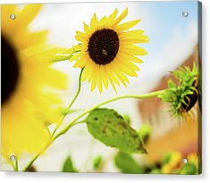Sunflower And The Bee Acrylic Print
