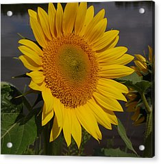 Sunflower Acrylic Print by Audrey Venute