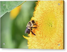 Acrylic Print featuring the photograph Sunflower Bee by Brian Hale