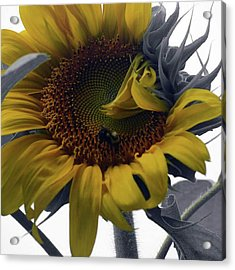 Sunflower Bee Acrylic Print