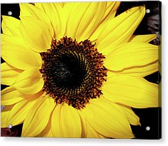 Sunflower Big And Beautiful Acrylic Print by Julie Palencia