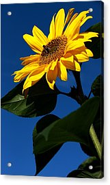 Sunflower Breakfast 1. Just Arrived  Acrylic Print by Rusalka Koroleva
