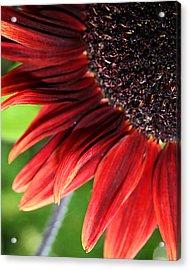Sunflower Acrylic Print by Carol Hicks