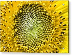 Sunflower Central Acrylic Print by Fran Gallogly
