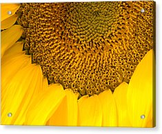 Sunflower Acrylic Print by Charlie Hunt