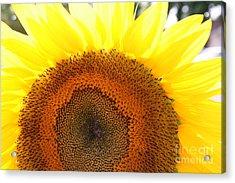 Sunflower Acrylic Print by Chuck Kuhn